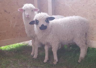 Nasze owieczki